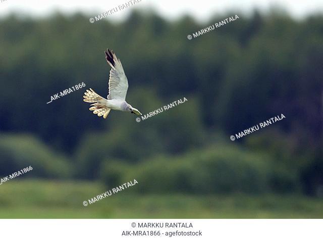 Adult male Pallid Harrier (Circus macrourus) in flight, photo against broadleaved trees. Liminka, Finland