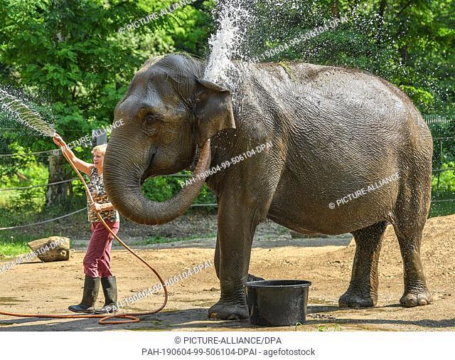 04 June 2019, Brandenburg, Cottbus: Karin Lehnert, animal keeper at Cottbus Zoo, stands next to the Asian elephant Sundali with a water hose