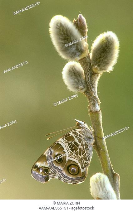 American Painted Lady on Pussy Willow, (Vanessa virginiensis)
