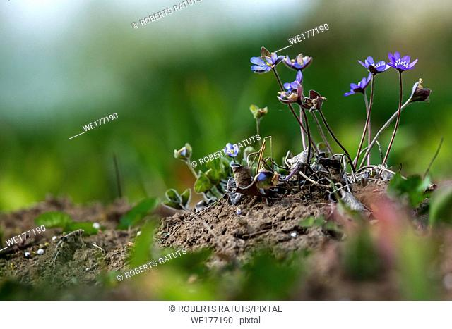 Blue anemone flowers. Blooming anemones. Blue anemones on the green grass as background. Meadow with anemones. Field flowers. Nature flower in spring