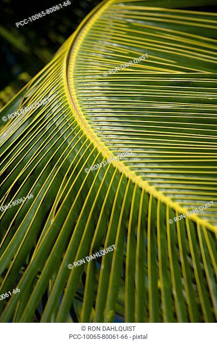 Hawaii, Closeup of a green palm leaf