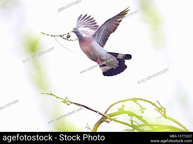 Dove, wood pigeon, Columba palumbus, dove of peace