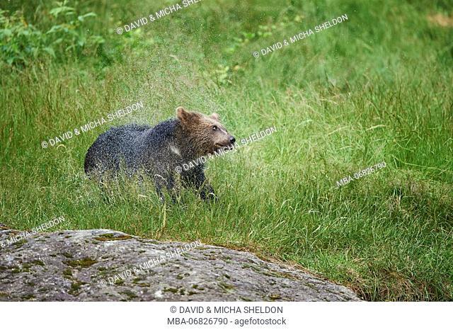 European brown bear, Ursus arctos arctos, young animal, wilderness, meadow, sidewise, stand