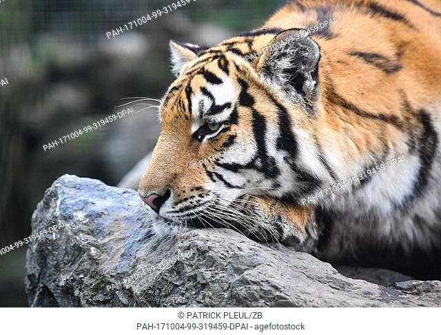 Tiger 'Diego', photographed in his enclosure at the Felidae Wildkatzen- und Artenschutzzentrum Barnim ('Felidae Wild Cat and Species Conservation Center') of...