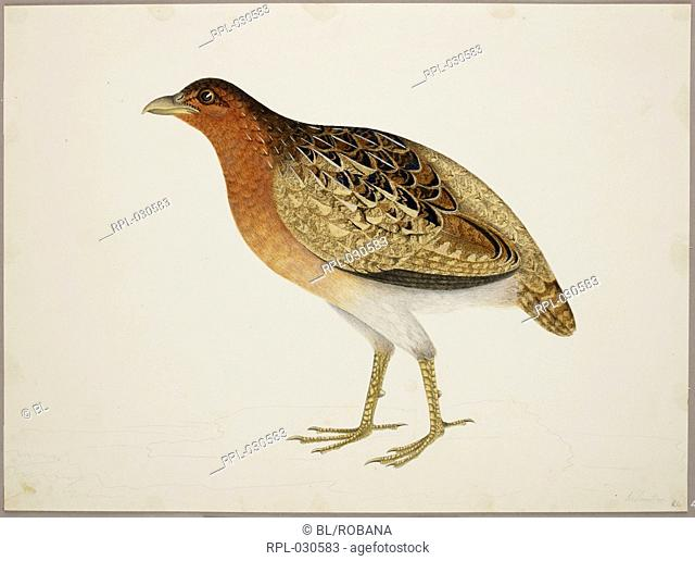 Female Long-Billed Partridge 'Rhizothers Longirostris'. From an album of 51 drawings of birds and mammals made at Bencoolen, Sumatra, for Sir Stamford Raffles