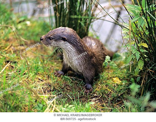 European Otter, Lutra lutra, young