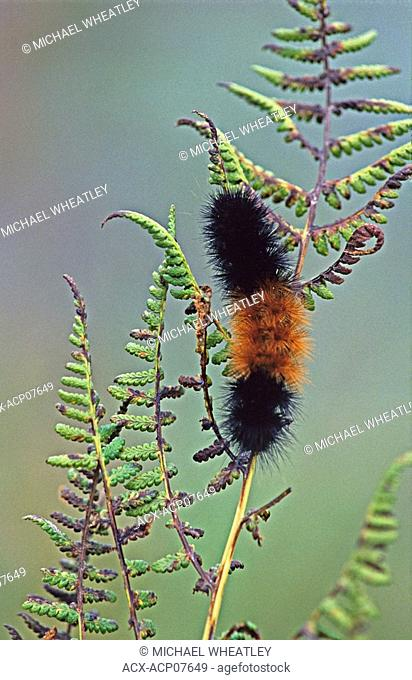 Wooly bear caterpillar on fern, Burnaby Lake Regional Park, Burnaby, British Columbia, Canada