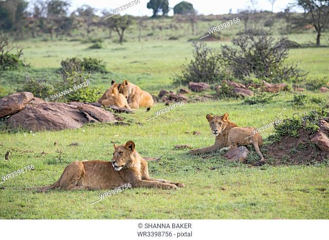Lion pride relaxing on the Maasai Mara, Kenya, East Africa, Africa