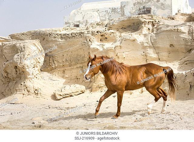 Arab Horse. Chestnut stallion walking on a beach with rocks in background. Tunisia