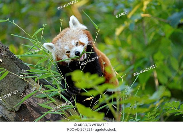 Red Panda / Ailurus fulgens