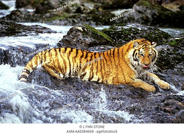 Siberian Tiger lying in shallow Stream (Panthera tigris altaica), IC