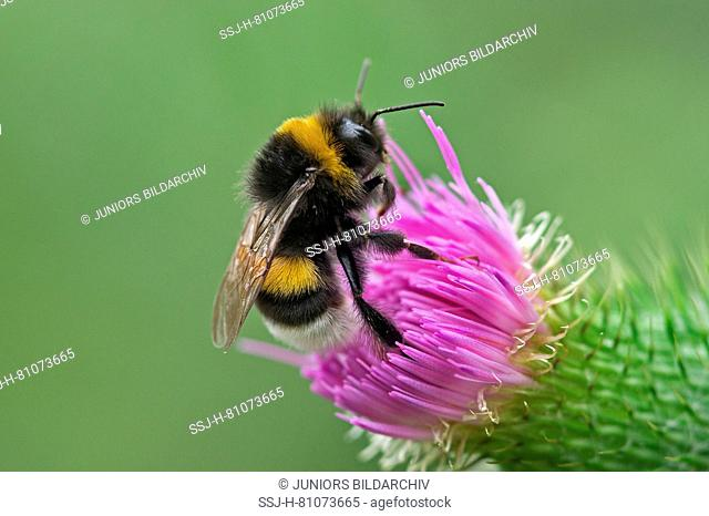 Buff-tailed Bumble Bee (Bombus terrestris) drinking nectar from a flower of a Bull Thistle (Cirsium vulgare). Germany