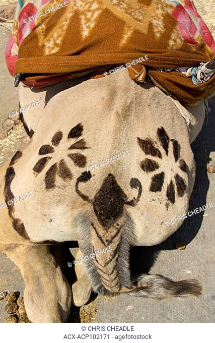 Decorated camel haunches, Jaipur, Rajastan, India