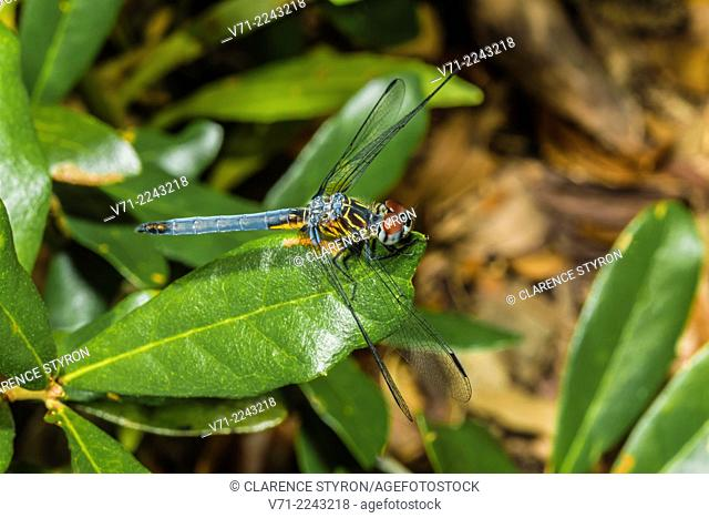Blue Dasher Dragonfly (Pachydiplax longipennis) Hunting on Live Oak (Quercus virginiana) Leaf