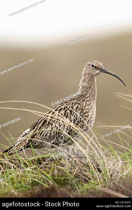 Eurasian Curlew / Grosser Brachvogel ( Numenius arquata ) in the dunes, in typical surrounding, wildlife, Europe