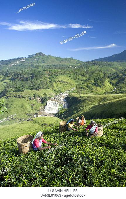 Tea Plantation, Talawakele, Nuwara Eliya, Hill Country, Sri Lanka