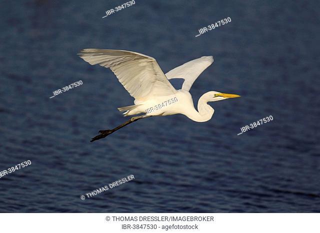 Great Egret (Egretta alba), flying across Sunset Dam, Kruger National Park, South Africa
