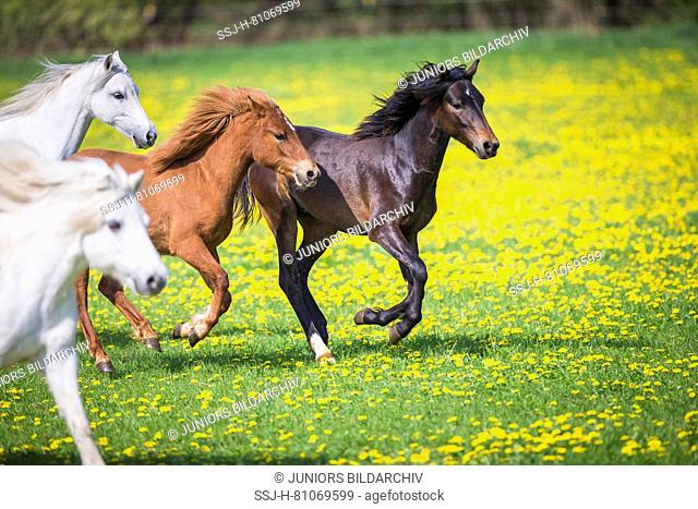 Welsh Pony (Section B). Gray mares, weaner (German Riding Pony) and chestnut mare galloping on a pasture. Germany