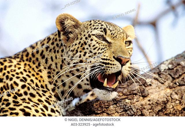Portrait of Leopard (Panthera pardus). Sabi Sabi Private Game Reserve, Kruger National Park, South Africa