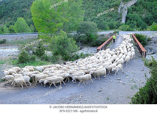 Flock of sheep crossing the river Aragón Subordán by an old bridge. Valey of Hecho. Pyrenees mountains. Huesca province. Aragón. Spain