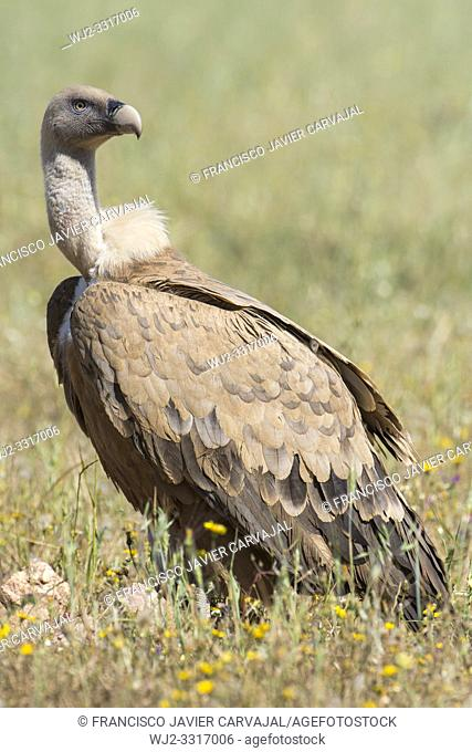 Griffon vulture perched on the ground in the vicinity of a cadaver, Extremadura, Spain