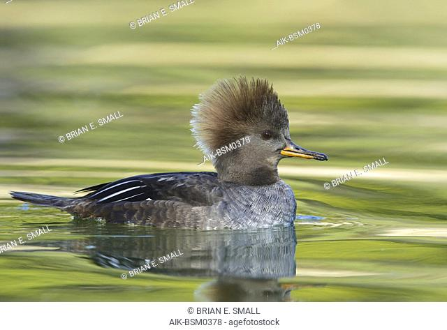 Adult female Hooded Merganser (Lophodytes cucullatus) swimming in a green colored lake in Los Angeles County, California, USA, during winter