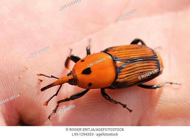 Red Palm Weevil adult (Rhynchophorus ferrugineus) as found when treating an infested Canary palm tree, Spain