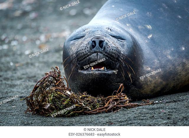 Close-up of elephant seal yawning on beach