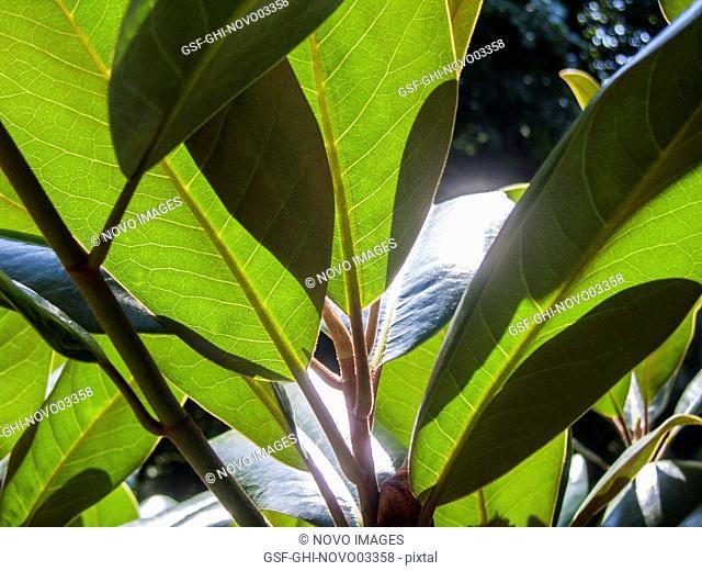 Sunshine Through Evergreen Magnolia Trees
