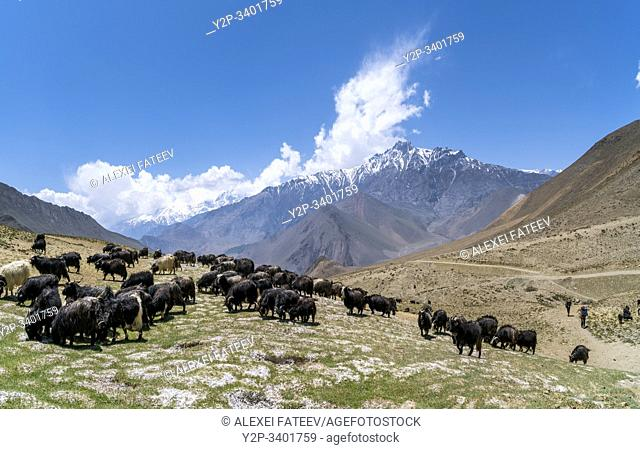 Sheep grazing in Mustang district, Nepal