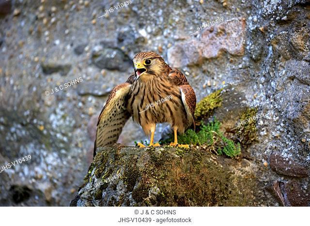 European Kestrel, Common Krestel, (Falco tinnunculus), adult on rock calling spreads wings, Pelm, Kasselburg, Eifel, Germany, Europe