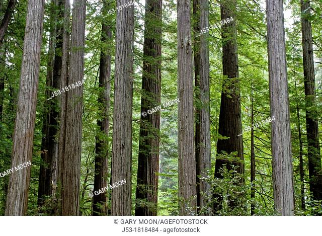 Old growth coast redwood forest, Rockefeller Grove, Humboldt Redwoods State Park, Humboldt County, California