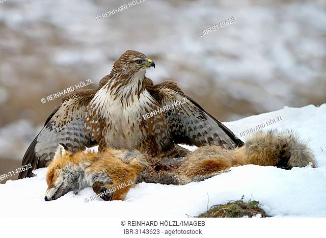 Common Buzzard (Buteo buteo), with the carcass of a red fox (Vulpes vulpes)