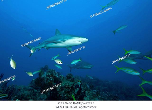 Caribbean Reef Shark over Reef, Carcharhinus perezi, Caribbean Sea, Bahamas