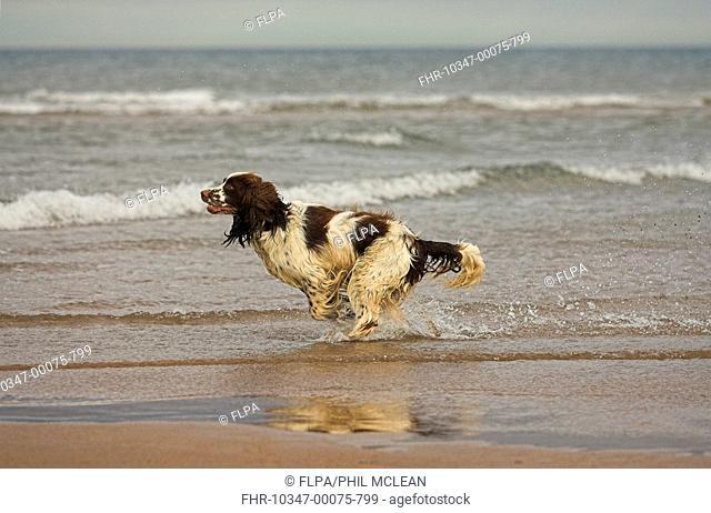 Domestic Dog, English Springer Spaniel, adult, running in sea, Cheswick, Northumberland, England