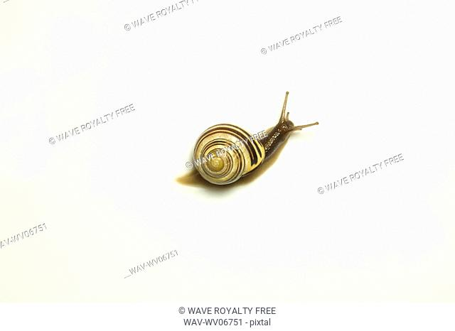 Garden snail, Ontario