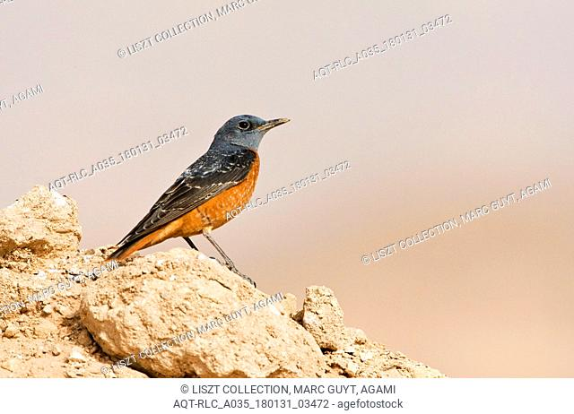 Rufous-tailed Rock Thrush on migration in Israel
