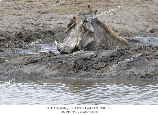 Common warthog (Phacochoerus africanus), adult taking a mud bath at a waterhole with two red-billed oxpeckers (Buphagus erythrorhynchus) resting on his head