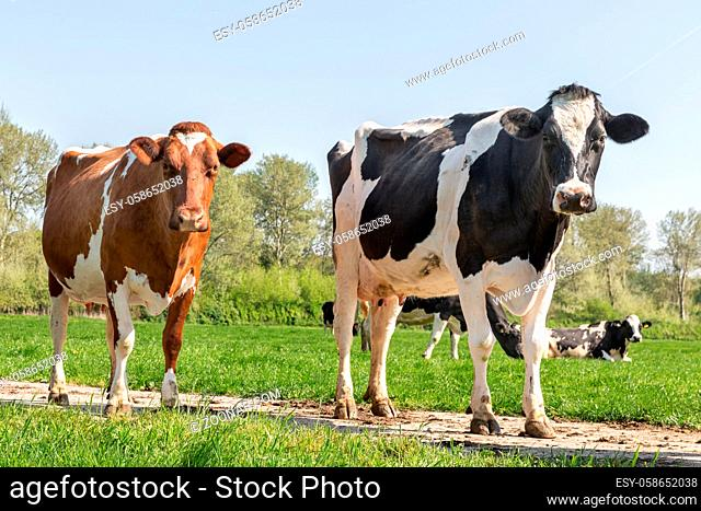 Springtime with two black and brown cows grazing in Dutch pasture