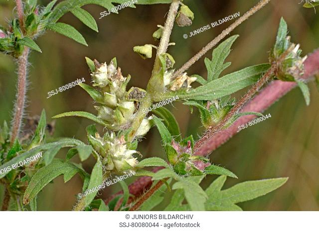 DEU, 2007: Annual Ragweed, Common Ragweed (Ambrosia artemisiifolia), stem with female flowers and leaves