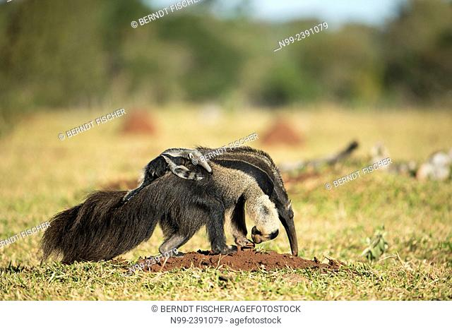 Giant anteater (Myrmecophaga tridactyla), female with cub on its back, looking for ants in farmland, Mato Grosso do Sul, Brazil