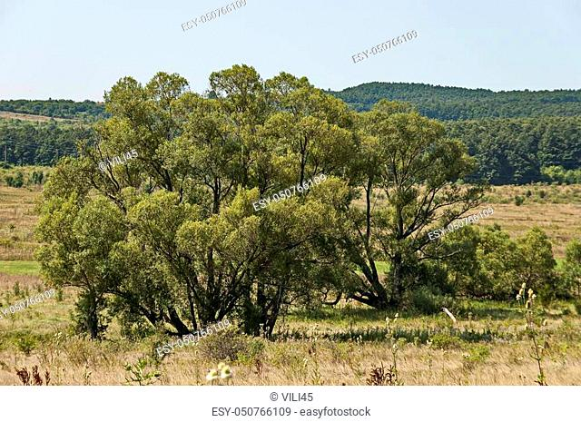Landscape of summer nature with green glade, flower, forest and big White willow or Salix alba tree, Sredna Gora mountain, Ihtiman, Bulgaria