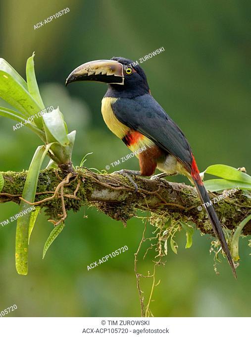 Collared Aracari (Pteroglossus torquatus) - at Laguna Lagarto Lodge near Boca Tapada, Costa Rica