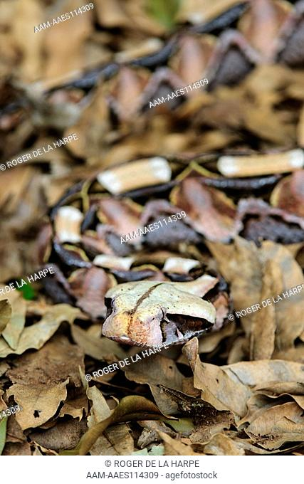 The Gaboon Adder (Bitis gabonica) is a venomous viper species found in the rainforests and savannas of Sub-Saharan Africa