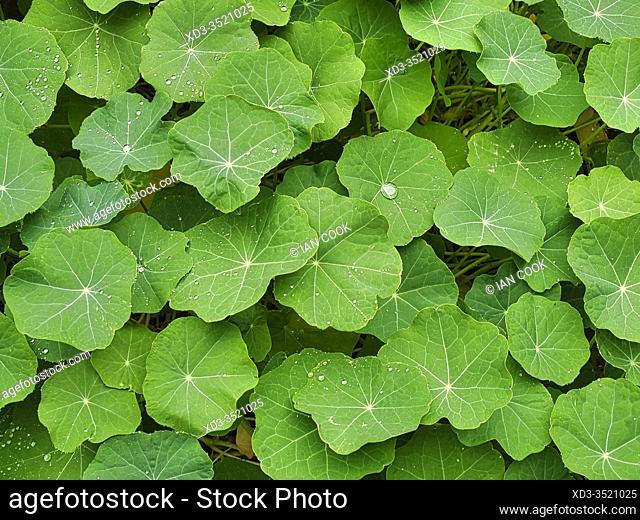 nasturtium, Tropaeolum, leaves, with water droplets, Lauzun, Lot-et-Garonne Department, Nouvelle Aquitaine, France