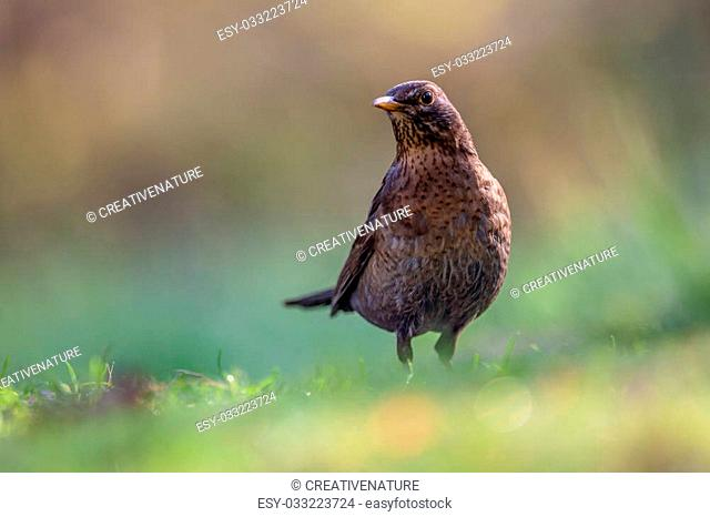 Female common blackbird (Turdus merula) eating from the ground in an ecological garden with green and brown background and looking at the camera