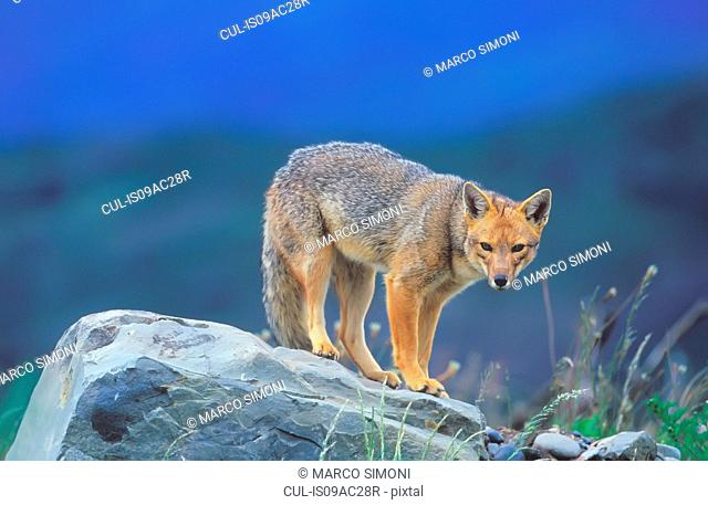 Patagonian red fox (Dusicyon culpaeus), standing on rock, Torres del Paine National Park, Patagonia, Chile