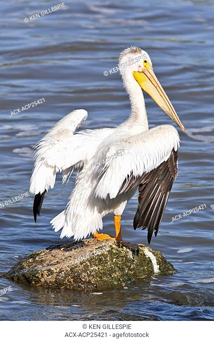 American White Pelican standing on a rock in the Red River. Lockport, Manitoba, Canada