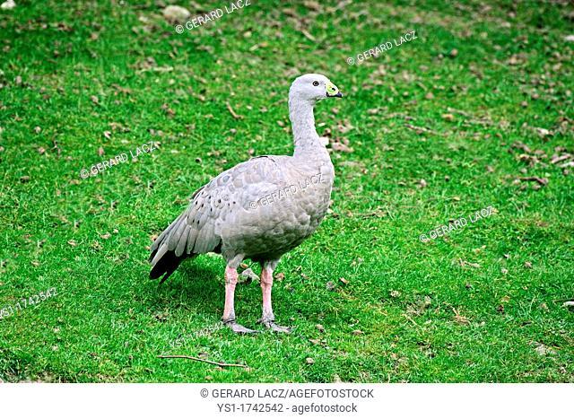 Cape Barren Goose, cereopsis novaehollandiae, Adult