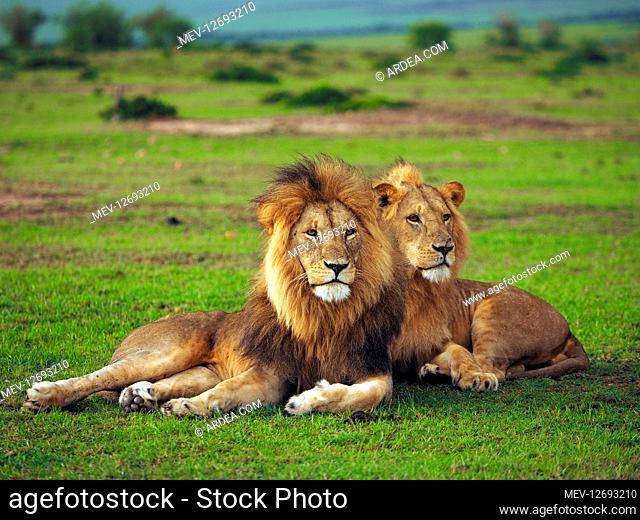 Lions in the Masai Mara, Kenya, Africa Lions in the Masai Mara, Kenya, Africa
